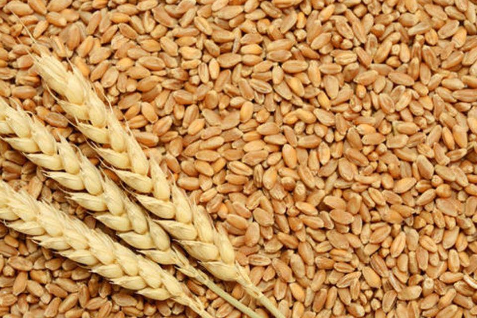 Wheat , ઘંઉ ની ખેતી